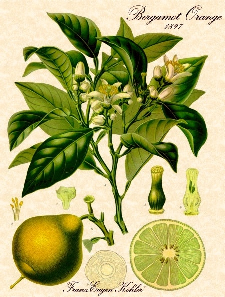 Botanical illustration by Franz