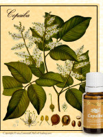 copaiba botanical illustration with bottle of young living copaiba essential oil |Copyright © Cynthe Brush www.essentialoilsforhealing.com www.gaiaspharmacopeia.com www.gaiaspharmacy.com
