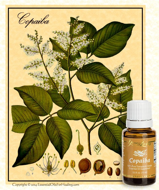 copaiba botanical illustration with bottle of young living copaiba on gaias pharmacy.com