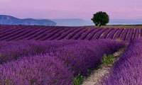 lavender fields with distant hils