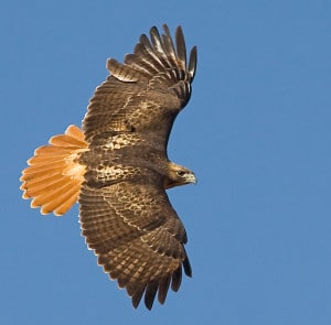 red tail hawk, wings spread in banking turn against blue sky