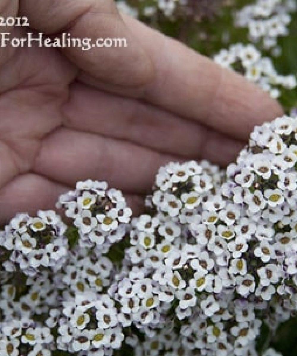 woman gardener's hand near blooming 'carpet of snow' allysum